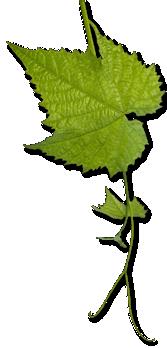 hoja parra dionisio vinoteca